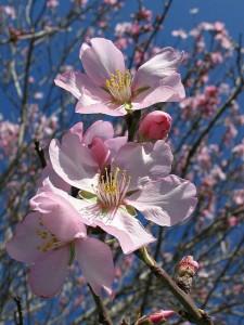Les fleurs d'amandier sont annonciatrices du printemps