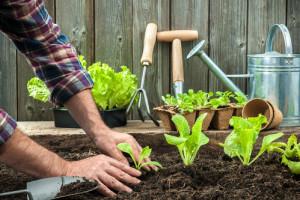 Planter salade laitue dans votre potager provençal