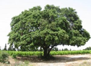Chêne vert en Provence