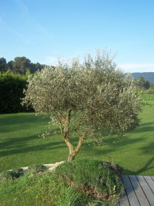 Un olivier au printemps dans la région d'Aix en Provence