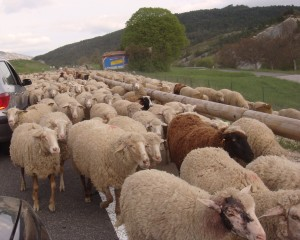 Un embouteillage de moutons