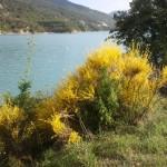 Les genêts du bord du Lac