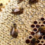 miel recouvert de cire