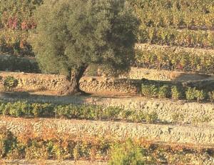 vignes en restanques