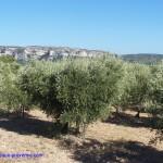 Vigne et olivier règnent sur la Provence !