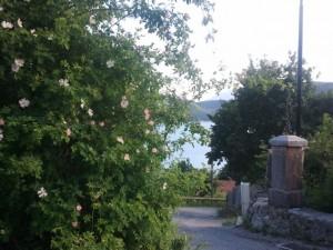 Églantier du bord du Lac de Castillon