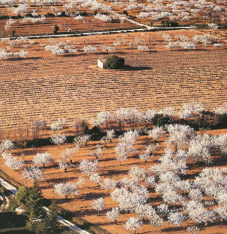 Quand les cerisiers sont blancs …