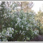 Buisson de romarin fleuri