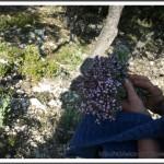 Le bouquet de thym fleuri
