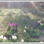 iris colorés