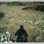 L'ombre, au milieu des iris sauvages