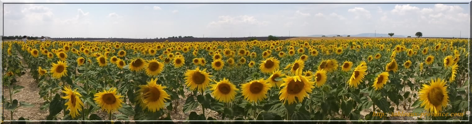 Champs de tournesol panoramique