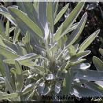 Infusions ou tisanes aux herbes de Provence – saison 2