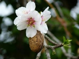 Fleur blanche et amande