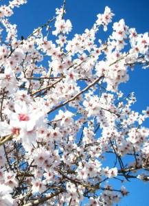 Branche fleurie d'amandier