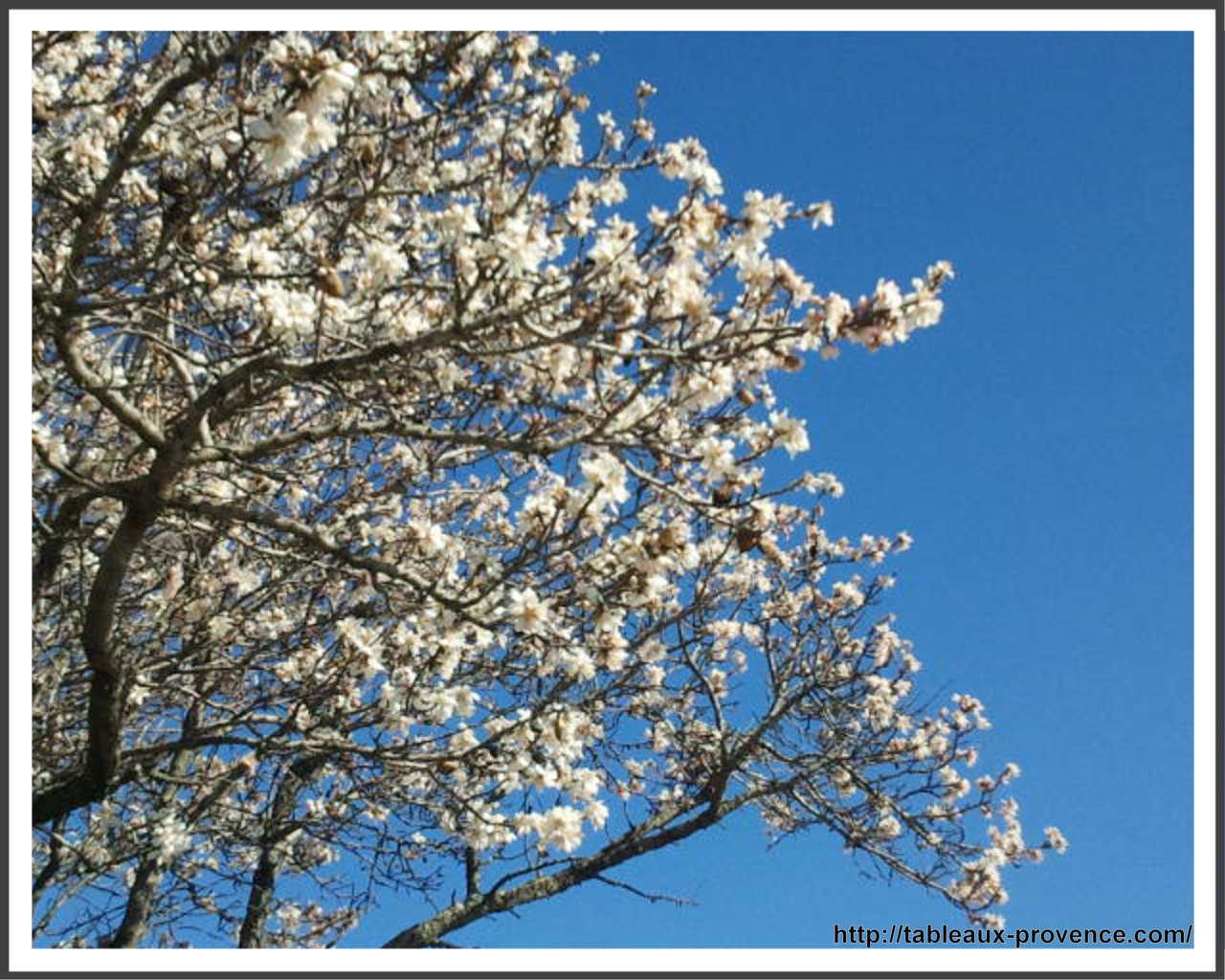 Amandier en fleur annonce le printemps
