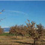 Chênes blancs truffiers de Provence